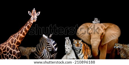A group of animals are together on a black background with text area. Animals range from an Elephant, Zebra, White Lion, Jaguar, Monkey, Giraffe and Tiger. Use it for a zoo or conservation concept.  - stock photo