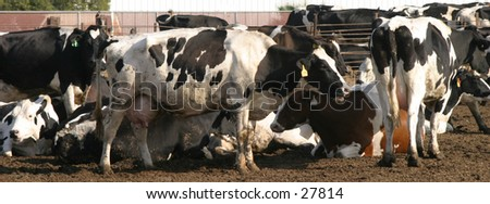A group of black and white cows do what cows do what cows do best, hang around. if you look closely the cow in the center has spots in the shape of a famous cartoon mouse