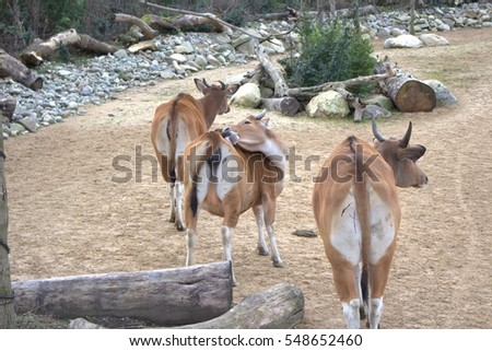 A group of brown bantengs, wild cattle found in Southeast Asia