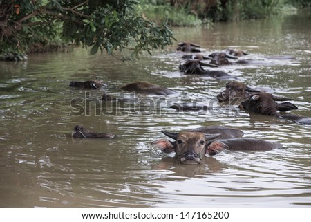 A group of buffalo is playing water, Thailand  - stock photo