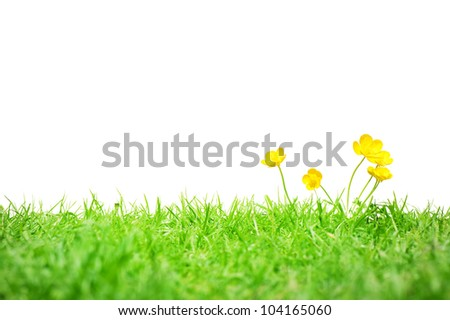 A group of buttercups on grass isolated on white. - stock photo