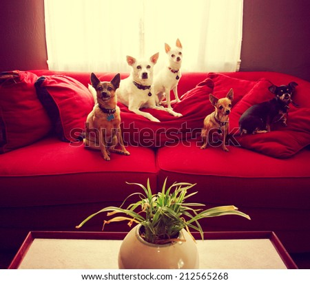 a group of chihuahua dogs sitting on a couch in a living room toned with a retro vintage instagram filter effect  - stock photo