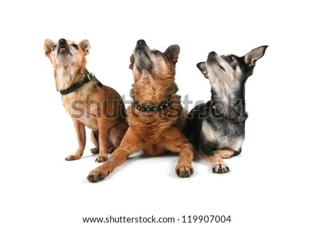 a group of chihuahuas - stock photo