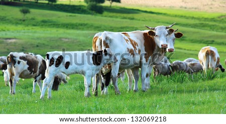 A group of cows in the grassland - stock photo