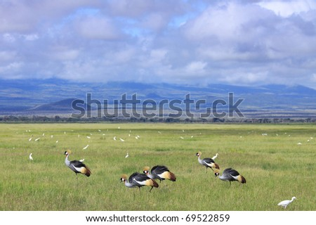 A group of crowned cranes feeding on the savanna plains of Amboseli National Park, Kenya