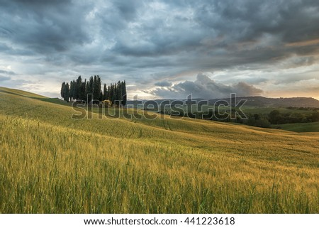 A group of cypresses in Tuscany, Italy - stock photo