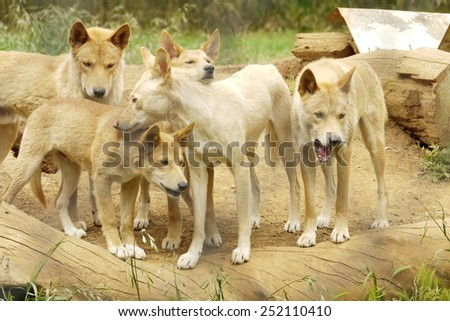 A Group of Dingoes which was taken in Australia - stock photo
