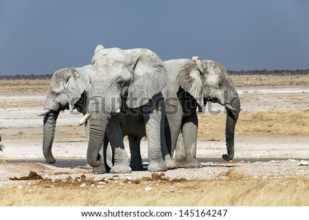 a group of elephants in the national park of Namibia