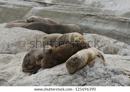 a group of females south american sea lions sleeping on the rocks in the Beagle Channel, Tierra del Fuego - stock photo