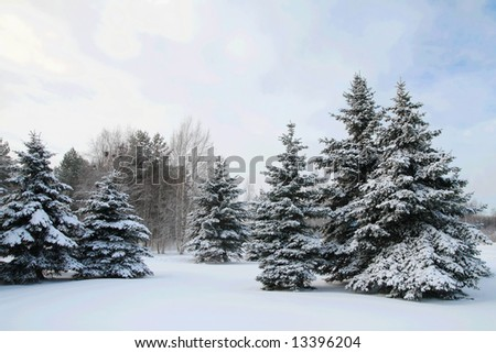 A group of fir trees covered in snow - stock photo