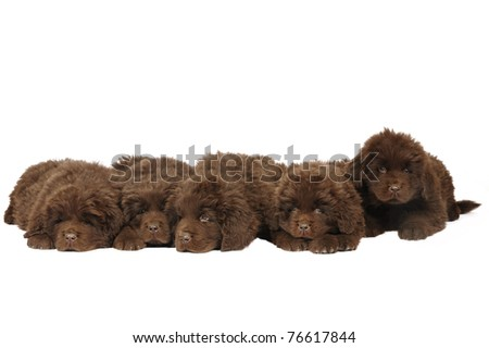 A group of five newfoundland puppies in studio on white background - stock photo