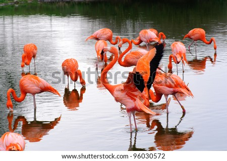 A group of flamingos in a pool feeding - stock photo
