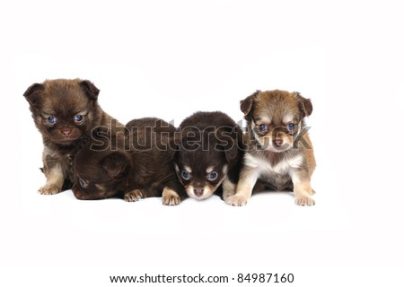 A group of four chihuahua puppies in studio on a white background