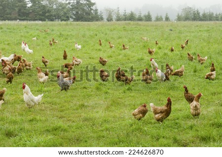 A group of free range chickens feed in a field in Northern California - stock photo