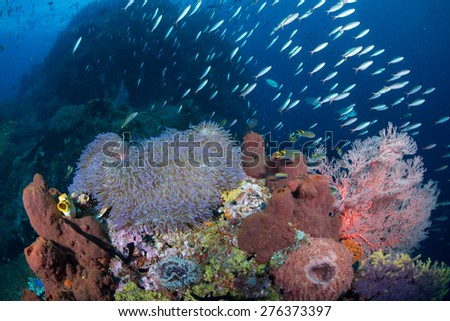 A group of fusiliers fish swims over an area with an anemone and many different kind of corals.