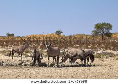A group of Gemsbok (Oryx gazella) at a waterhole in the Kgalagadi Transfrontier  National Park, South Africa - stock photo