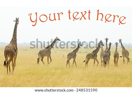 A group of giraffes (Giraffa camelopardalis) in Serengeti National Park, Tanzania. Example text added in copyspace - stock photo