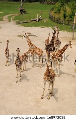A group of giraffes, outdoor Zoo, Prague - stock photo