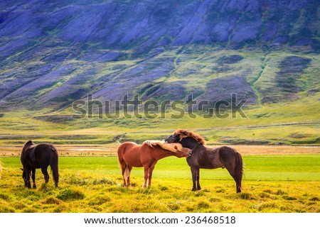 A group of Icelandic Ponies in the pasture in Iceland - stock photo
