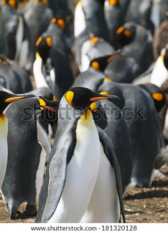 A group of King Penguins at Volunteer Point in the Falkland Islands. - stock photo