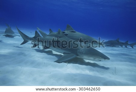 A GROUP OF LEMON SHARK SWIMMING IN THE WATER OF BAHAMAS