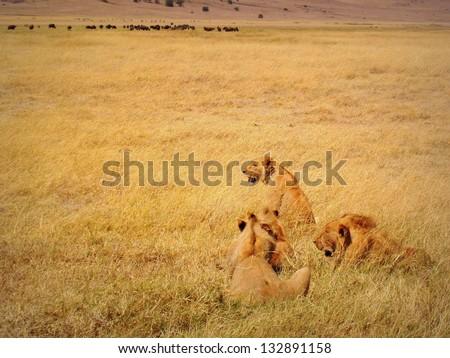A group of lions seeking for some buffalos, Ngorongoro crater, Tanzania. - stock photo