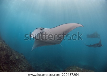A group of Manta Rays (manta alfredi)swims on top of the cleaning station at Manta Point in Nusa Penida, Bali - stock photo