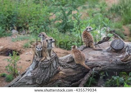 A group of meerkats.