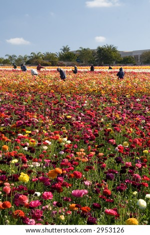 A group of Mexican migrant workers taking care of the flower fields in Carlsbad, California. - stock photo
