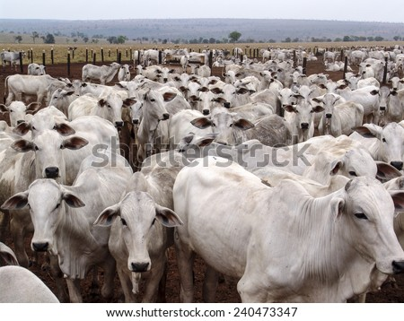 A group of Nelore cattle herded in confinement in a cattle farm in Mato Grosso state, Brazil