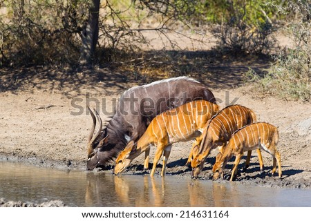 A group of Nyala (Tragelaphus angasii) male, females and a young fawn drinking at a waterhole in Hluhluwe Game Reserve, South Africa - stock photo