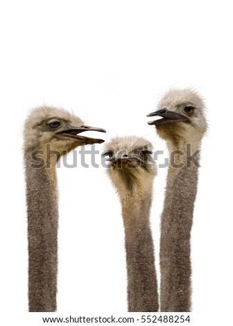 A group of ostriches humorously discussing the day's events