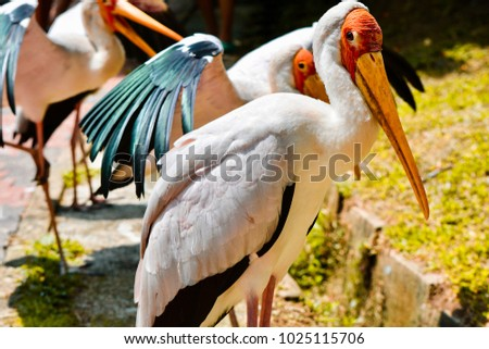 A group of painted stork shot on a sunny afternoon in a park in Malaysia. These birds are mostly found in the tropical regions of south-east Asia.