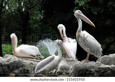 a group of pelican resting - stock photo