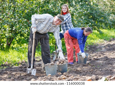 A group of people digging up potatoes. Harvested