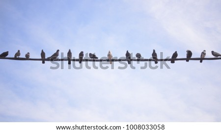 A group of pigeon were lining up on black electric cable