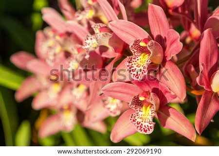 a group of pink orchid blossoms showing petal and inner detail against a dark background