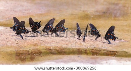 A group of Pipevine Swallowtails (Battus philenor) taking minerals near a river - stock photo