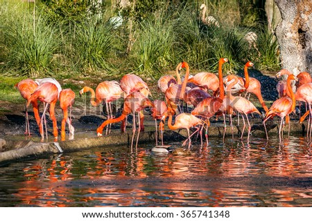 A group of red and pink flamingos in a pond with water