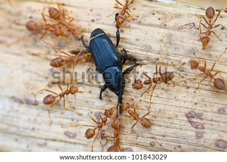 A group of red ants attacking a insect