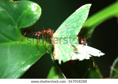 A group of red ants & prey