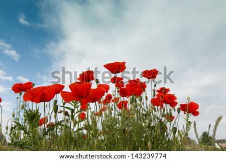 A group of red poppies seen from a low position on a blue cloudy sky background