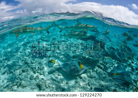 A group of reef sharks and rays cruise in shallow water near Bora Bora in French Polynesia. - stock photo