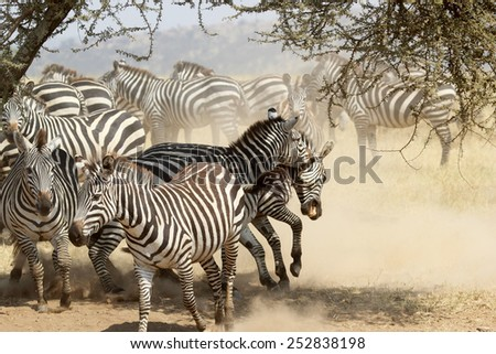 A group of restless common zebras, Equus Quagga, with fighting males in the shade of a tree in Serengeti National Park, Tanzania - stock photo