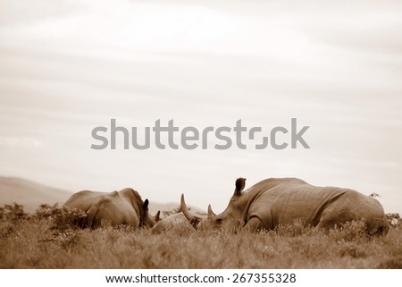 A group of rhino / rhinoceros sleep in an open field in South Africa - stock photo