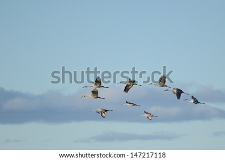 A Group of Sandhill Cranes (Grus canadensis) in Flight - stock photo