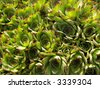 A group of sempervivums (hen and chicks, houseleeks) - stock photo