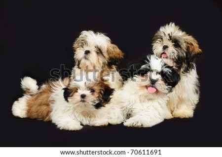A group of 4 shih tzu puppies in front of a black background - stock photo