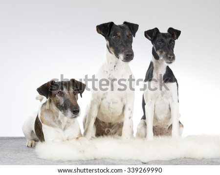 A group of Smooth Fox Terriers. Image taken in a studio.