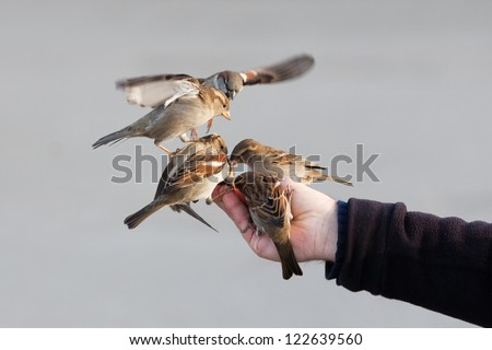 a group of sparrows sitting on a male hand which is feeding the birds